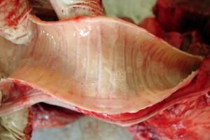 Крововиливи на слизовій оболонці трахеї